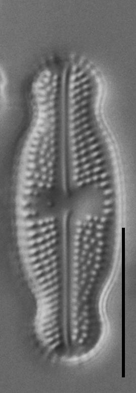 Luticola ventricosa LM7