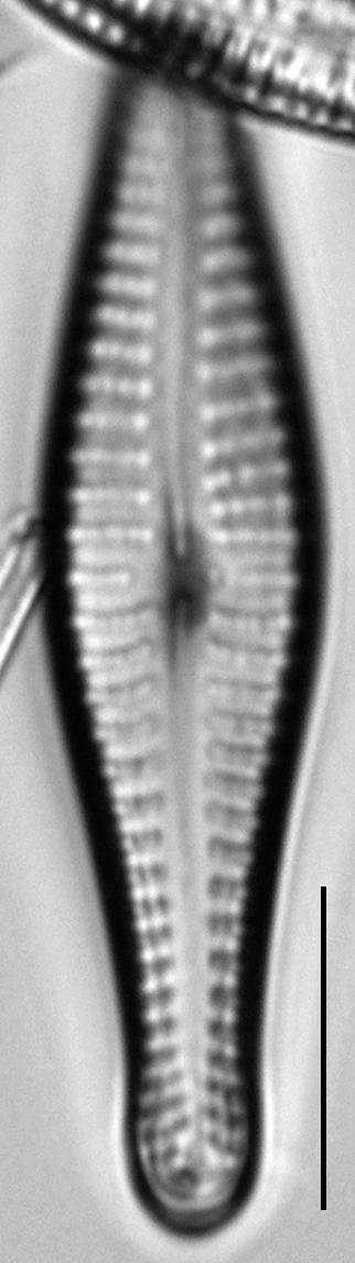 Gomphonema submehleri LM6