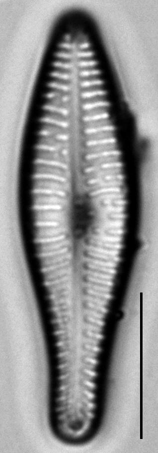 Gomphonema submehleri LM3