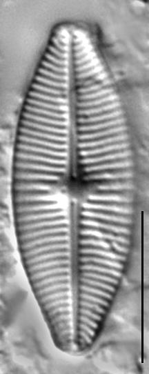 Geissleria lateropunctata LM3