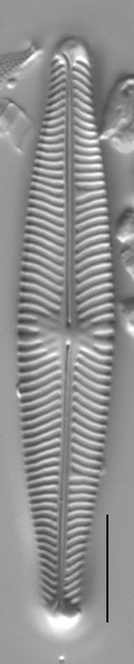 Navicula venerablis LM3