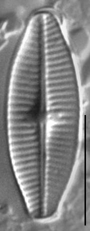 Geissleria punctifera LM3