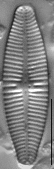Geissleria punctifera LM4