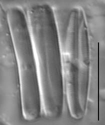 Gs024284  Nufennica 6