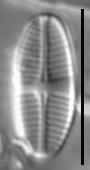 Psammothidium lauenburgianum LM1