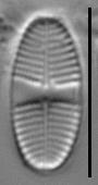 Psammothidium lauenburgianum LM3