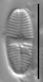 Psammothidium lauenburgianum LM6
