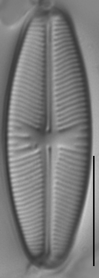 Sellaphora meridionalis LM3