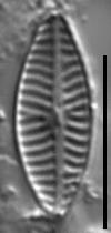Navicula reichardtiana LM6