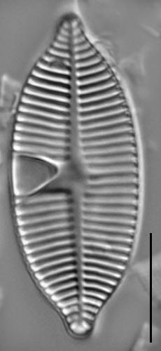 Planothidium apiculatum LM4