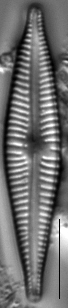 Gomphonema johnsonii LM2