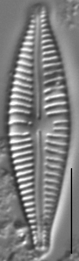 Gomphonema johnsonii LM6