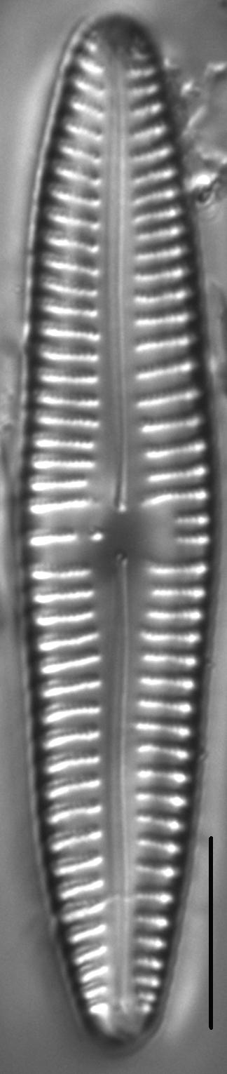 Gomphonema Americobtusatum 1 503601