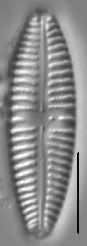 Gomphonema Americobtusatum 497901 2
