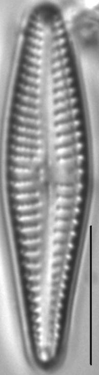 Gomphonema Bipunctatum 5 503501