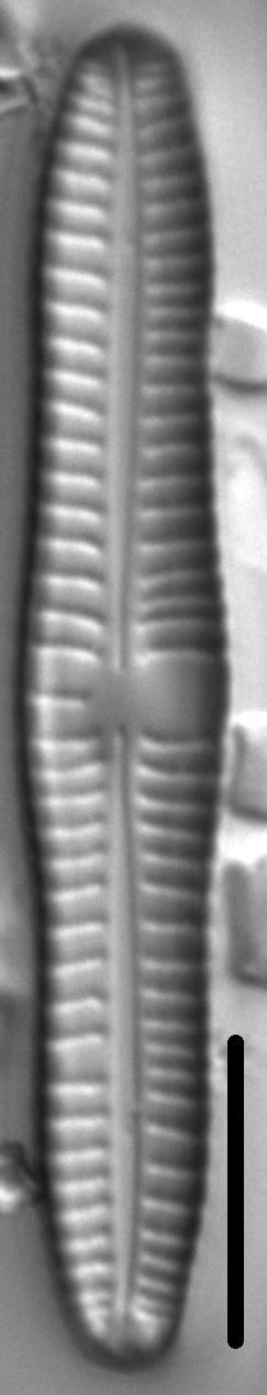 Gomphonema distans LM1