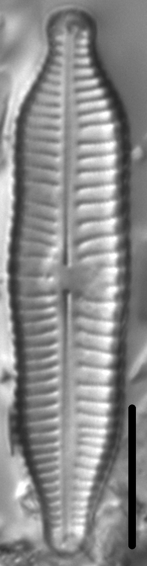 Gomphonema nathorstii LM5
