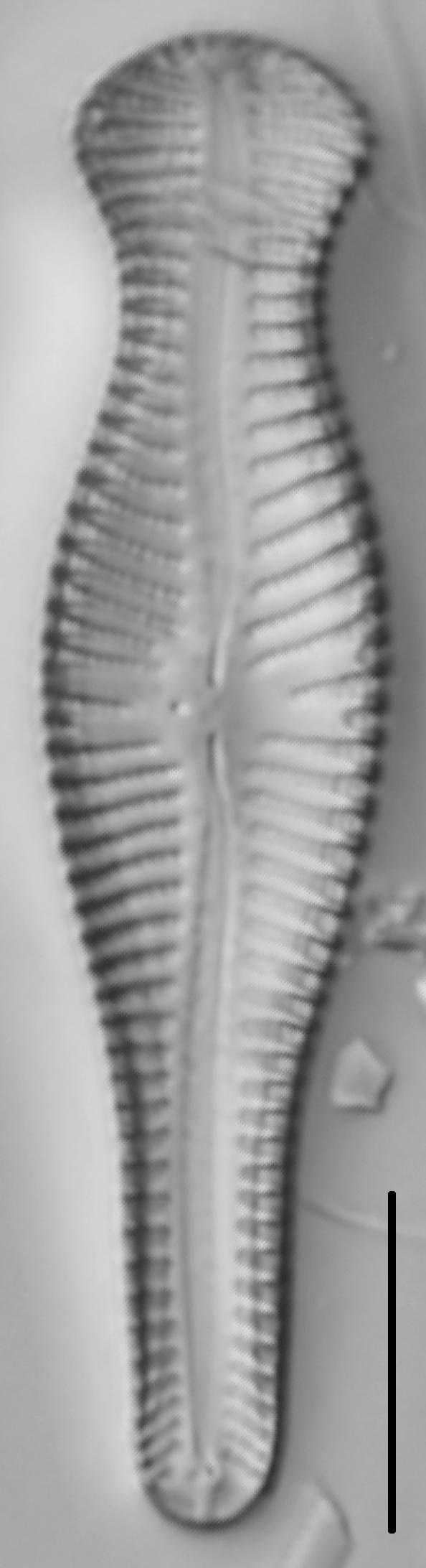 Gomphonema Truncatum 002