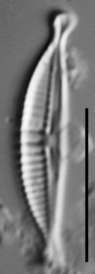 Halamphora subtilis LM1