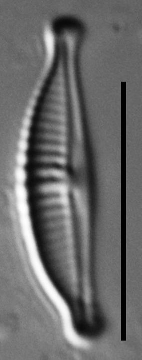 Halamphora subtilis LM17