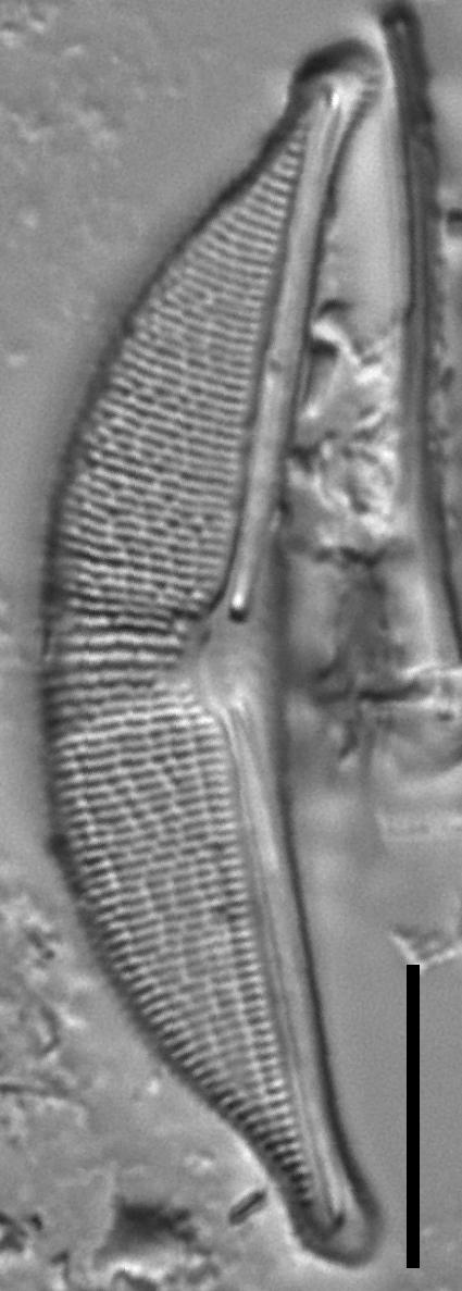Halamphora elongata LM5