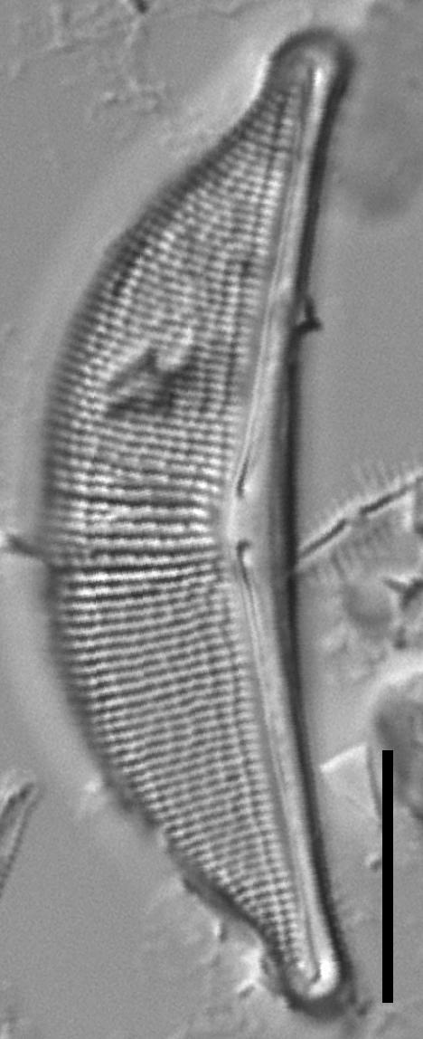 Halamphora elongata LM6
