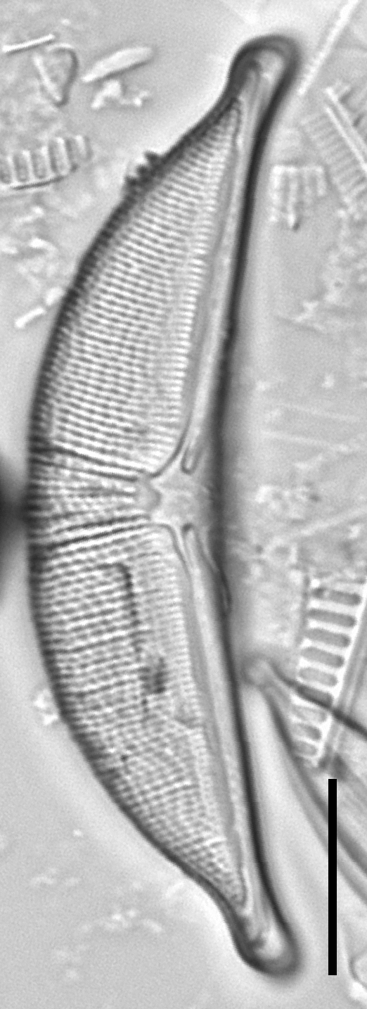 Halamphora elongata LM3