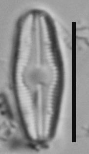 Humidophila Perpusilla Me10009 B 101317 137 C