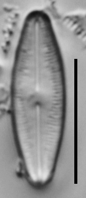 Humidophila Perpusilla Nh10063 A 121117 60 C