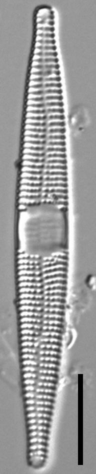 Jkj  Ctenophora 513X5