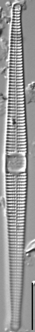 Jkj  Ctenophora 696X46Modified