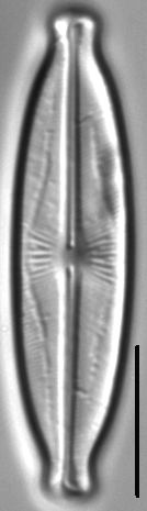 Kobayasiella okadae LM4