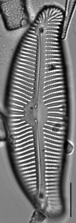 Encyonema leibleinii LM4