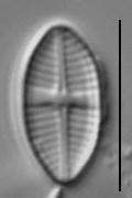 Lemnicola hungarica LM4b
