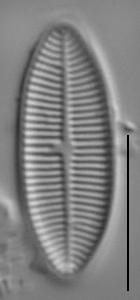 Lemnicola hungarica LM6