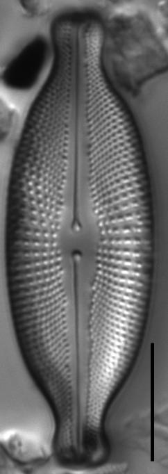 Cosmioneis hawaiiensis LM4