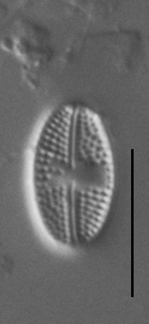Luticola Arctica Gc63412 19
