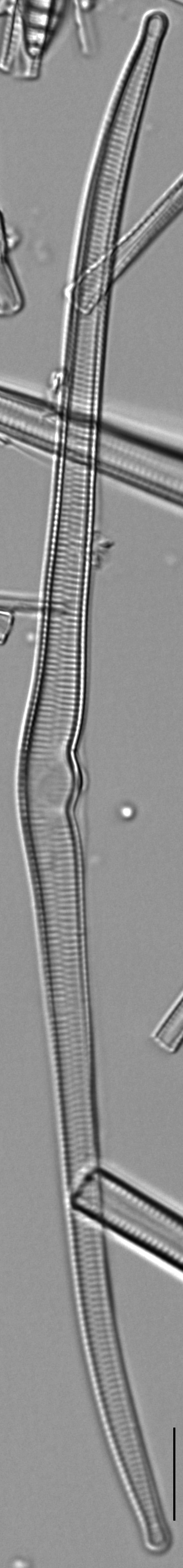 Hannaea superiorensis LM7