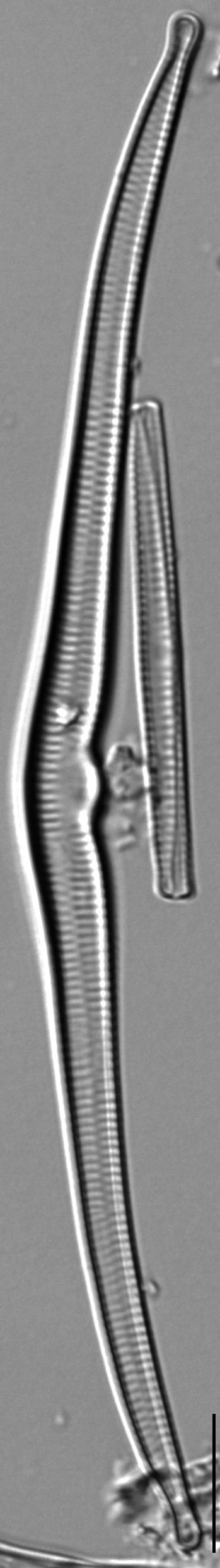 Hannaea superiorensis LM1