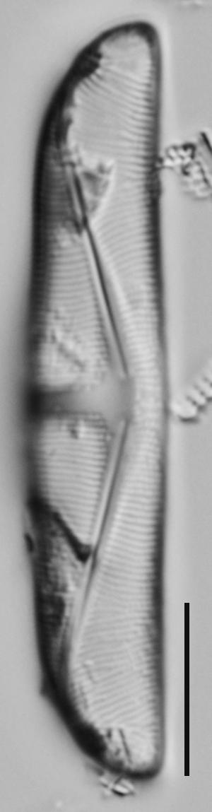 Amphora delphinea minor LM4