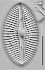Diploneis puellafallax LM2