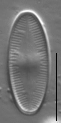 Psammothidium daonense LM2