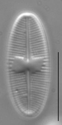 Psammothidium daonense LM1