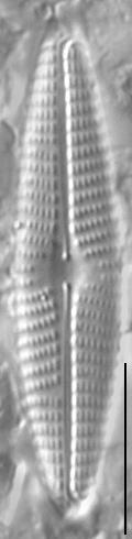Navicula libonensis LM1