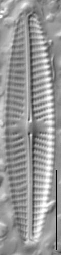 Navicula libonensis LM2
