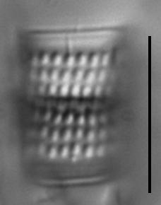 Aulacoseira nivalis LM5