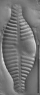 Planothidium dubium LM7