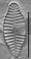 Planothidium dubium LM3
