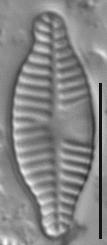 Planothidium dubium LM2