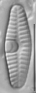 Planothidium frequentissimum LM1